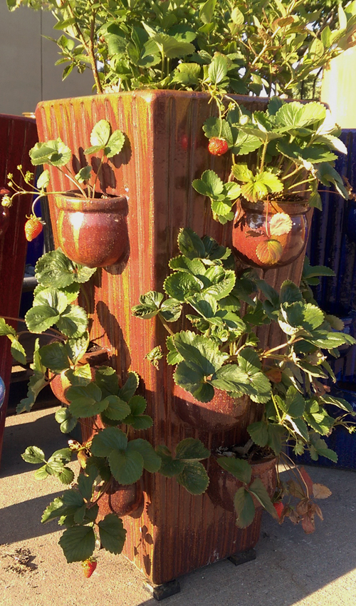 Straweberries in Tall Strawberry Planter